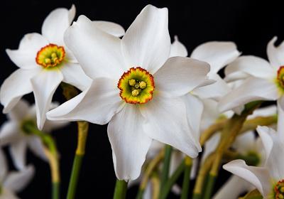 'Pheasant Eye' Narcissi
