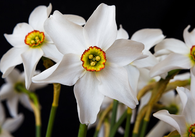 'Pheasant Eye' Narcissi