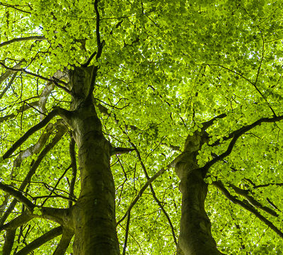 Beech trees www.firgrovephotographic.co.uk
