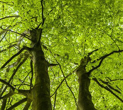 Beech trees www.firgrovephotographic.co.uk
