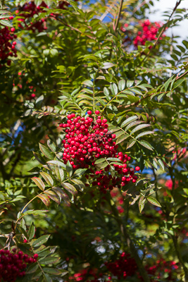 Sorbus 'Rose Queen' / www.firgrovephotographic.co.uk