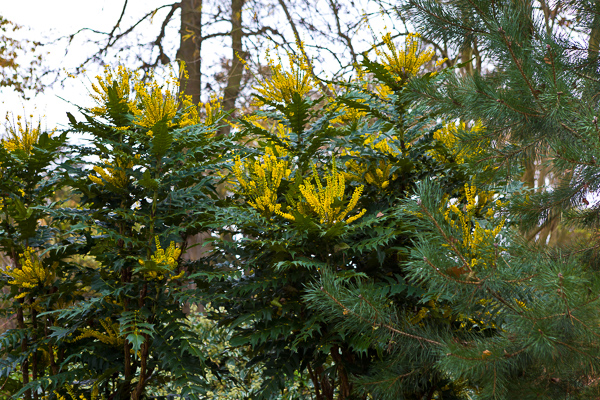 Mahonia x media 'Lionel Fortescue'