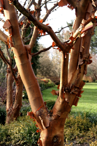 Acer griseum, the Paperbark maple