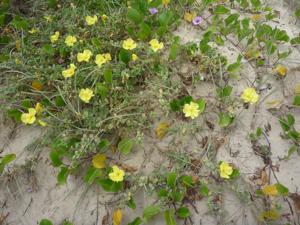mystery coastal plant
