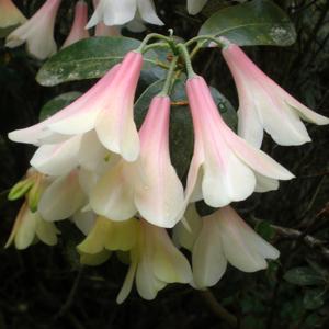 Rhododendron 'Crosswater Belle'