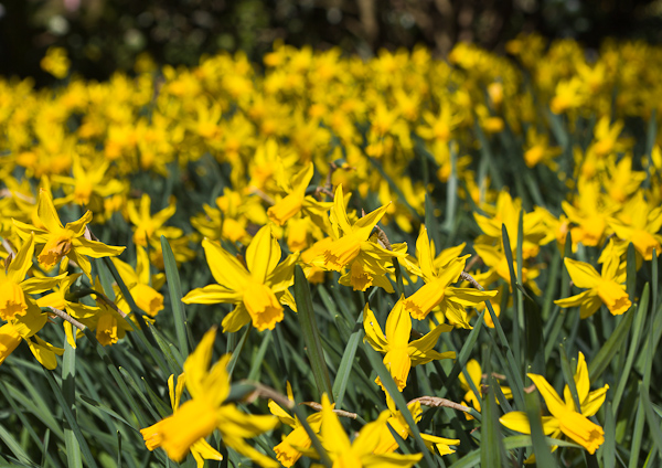 Narcissi by Firgrove Photographic