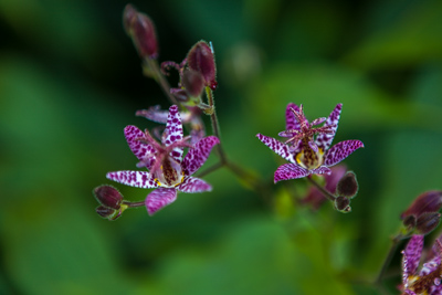 Trycirtis formosana by Firgrove Photographic