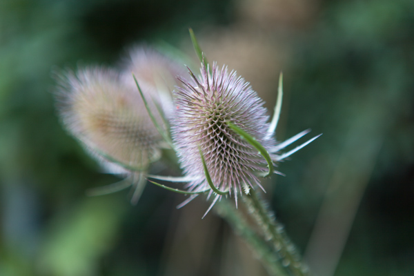 Teasels by Firgrove Photographic