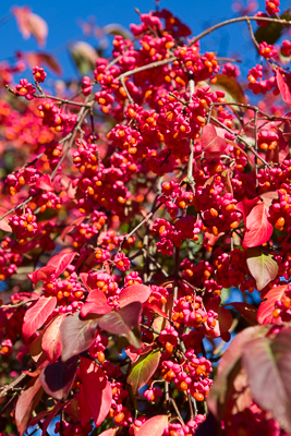 Euonymus europaeus 'Brilliant' by Firgrove Photographic