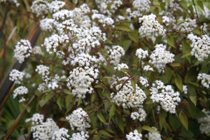 Ageratina 'Chocolate'