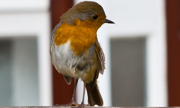 Robin in Garden by Firgrove Photographic