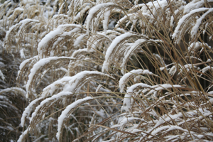 Miscanthus in winter
