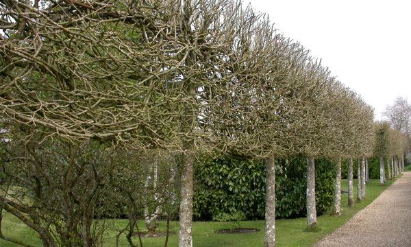 pleached trees