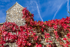 Virginia Creeper by Firgrove Photographic