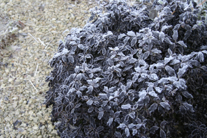 Dark foliage with frost - a dramatic combination