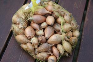 onion & shallots