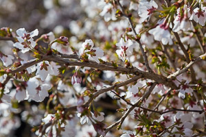 Prunus Kojo no Mai by Firgrove Photographic