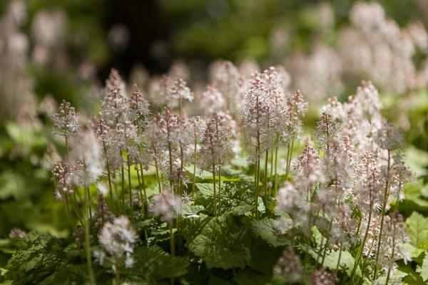 Tiarella cordifolia by Firgrove Photographic