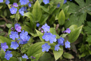 Omphalodes 'Cherry Ingram'