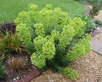 Euphorbia Humpty Dumpty