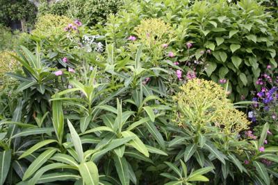 Euphorbia mellifera