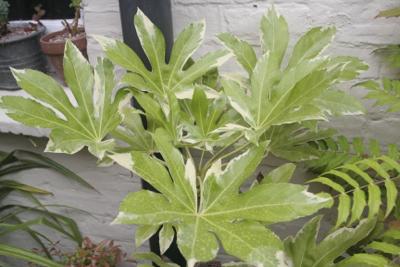 fatsia variegated