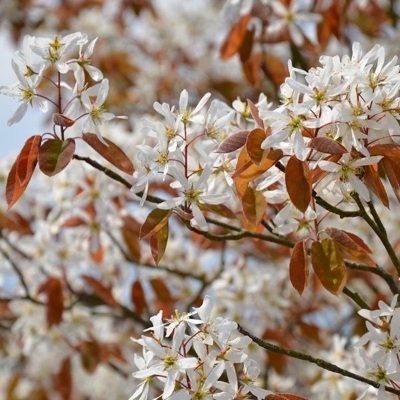 Amelanchier. © beechwood nurseries