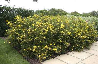 A splash of summer colour from Potentilla 'Goldfinger'