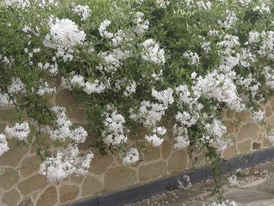 Solanum laxum 'Album'