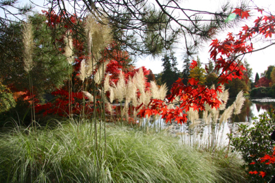 acer grasses autumn red foliage