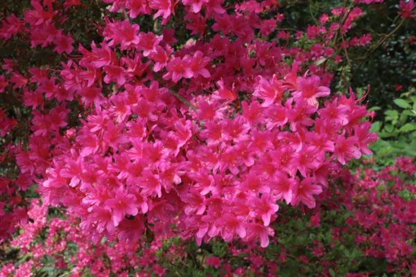 azalea acid soil rhododendron