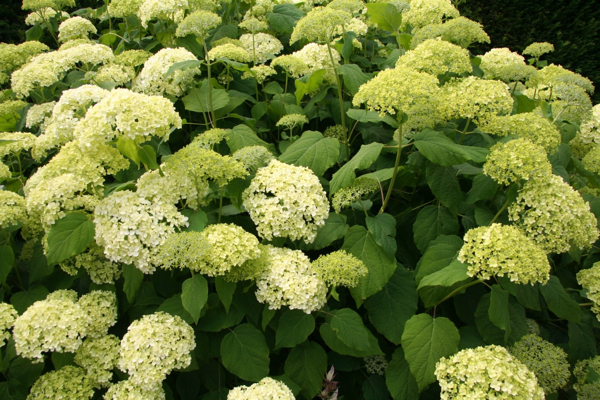 flowering shrub hydrangea